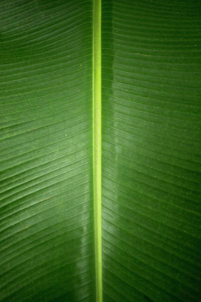 Wall Art - Photograph - Close-up Of Banana Leaf, Costa Rica by Panoramic Images