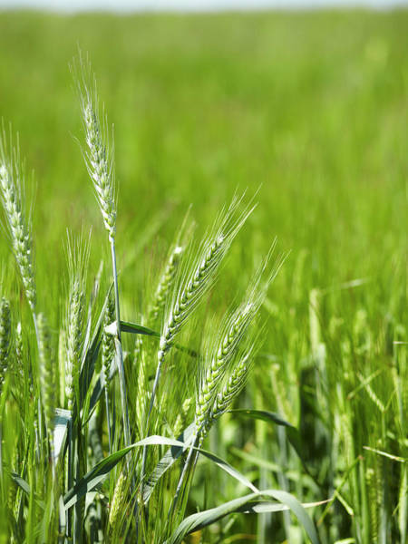 Photograph - Close Up Of Barley Stalks In Field by Brett Stevens