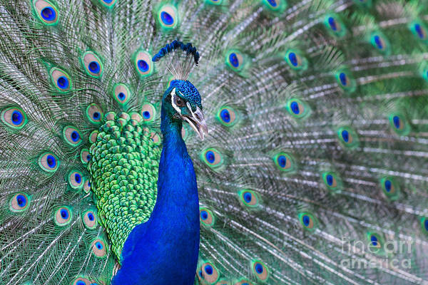 Wall Art - Photograph - Close Up Of Beautiful Male Peacock With by Ommaphat Chotirat