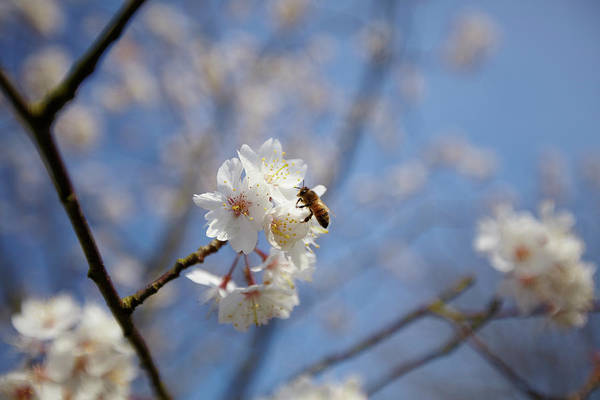 Bee On Flower Wall Art - Photograph - Close Up Of Bee On White Cherry Blossom by Ron Bambridge