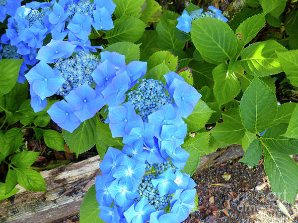 Wall Art - Photograph - Close-up Of Blue Flowers Blooming Outdoors G12 by Dan Yeger
