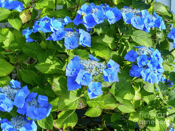 Wall Art - Photograph - Close-up Of Blue Flowers Blooming Outdoors G9 by Dan Yeger