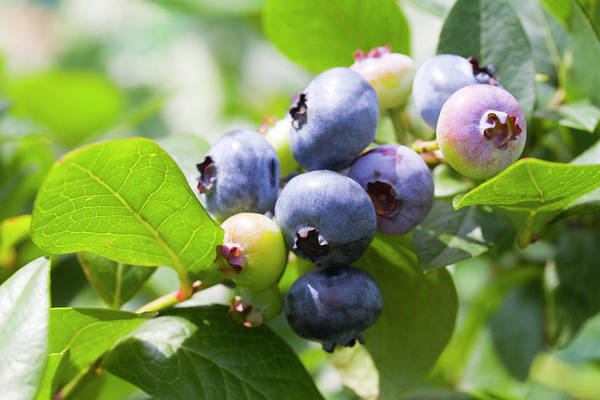 Blueberry Photograph - Close-up Of Blueberry Plant And Berries by Daisuke Morita