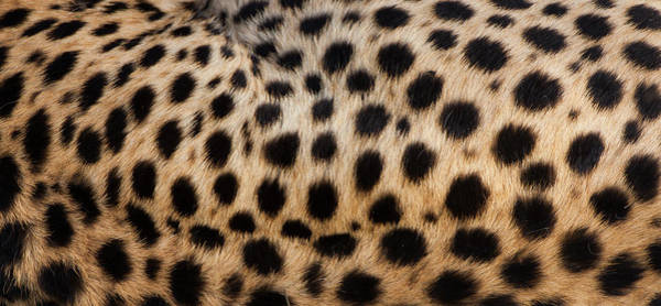 Vertebrate Photograph - Close-up Of Cheetah Spots On The by Mint Images - Art Wolfe