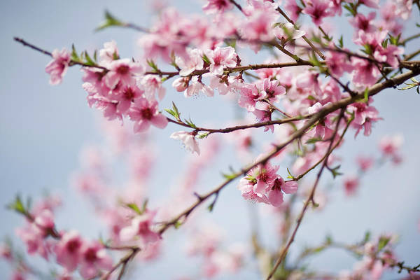 Season Photograph - Close Up Of Cherry Blossoms On A Clear by Zekag