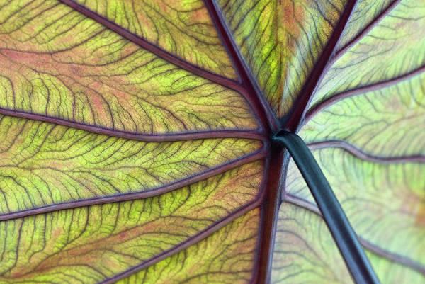 Doll Parts Photograph - Close Up Of Colocasia Esculenta Leaf by Deb Casso