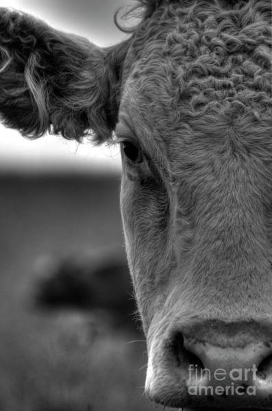 Wall Art - Photograph - Close-up Of Cow by Lip