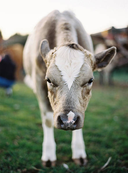 Nottinghamshire Photograph - Close Up Of Cow by Photographed By Victoria Phipps ©