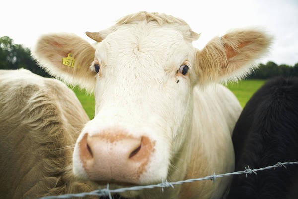Free Range Photograph - Close Up Of Cows Face by Peter Muller