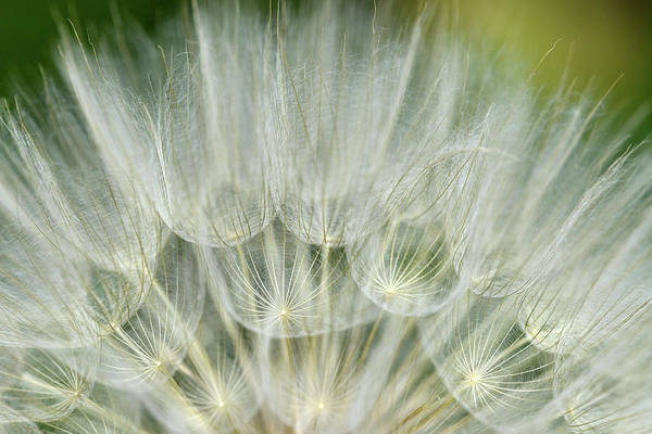 Chicago Botanic Garden Photograph - Close-up Of Dandelion Seed, Lockport by Panoramic Images