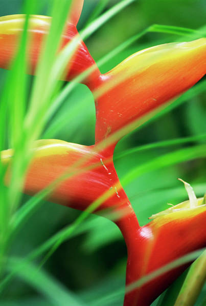 Wall Art - Photograph - Close-up Of Exotic Plant, Dominica by S Friberg / Robertharding