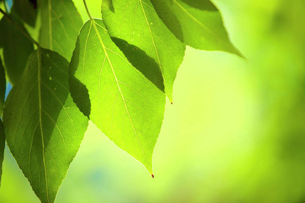 Soft Focus Photograph - Close-up Of Fresh Green Leafs by Druvo