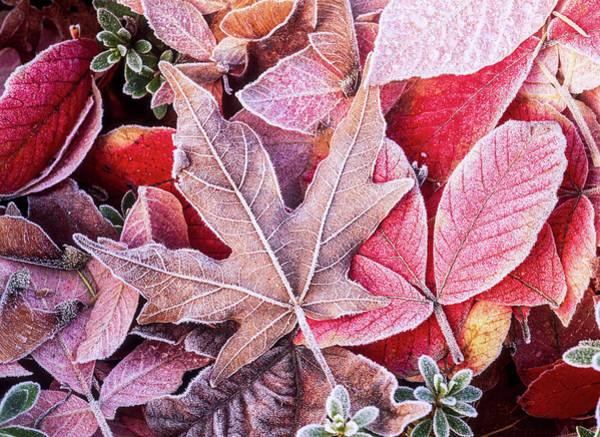 Wall Art - Photograph - Close-up Of Frosted Autumn Leaves by Stuart Westmorland