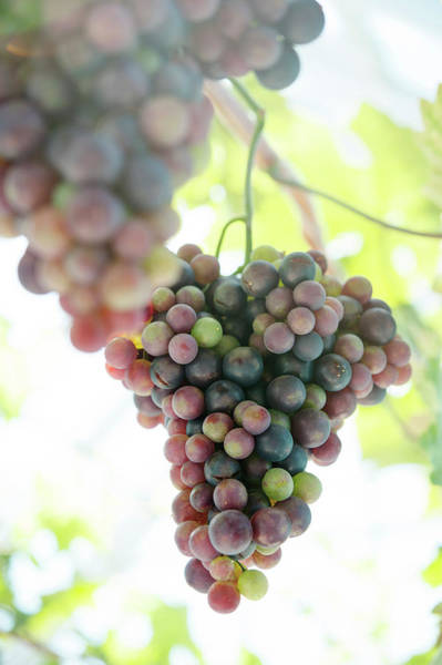 Skane Photograph - Close Up Of Grapes On Vine by Johner Images