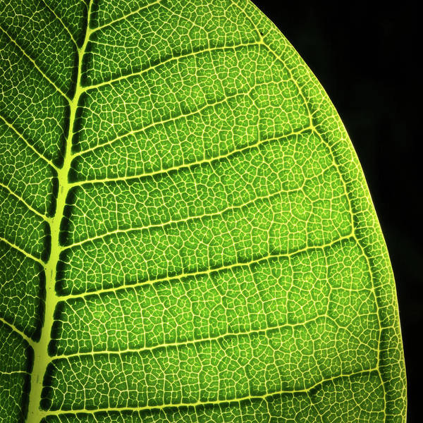 Frangipani Photograph - Close-up Of Green Plumeria Leaf, Hawaii by Kjell Linder