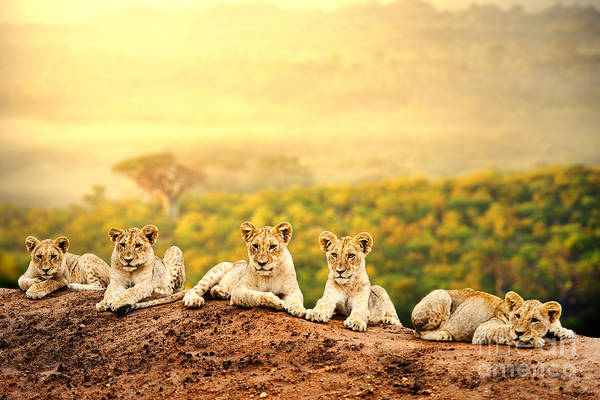 Baby Lions Wall Art - Photograph - Close Up Of Lion Cubs Laying Together by Karelnoppe