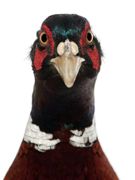 Pheasant Photograph - Close Up Of Male European Common by Life On White