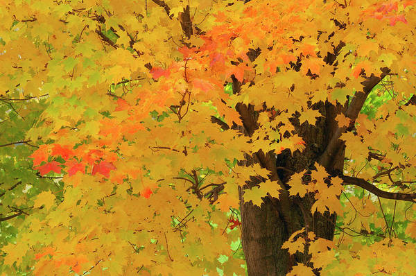 New Leaf Photograph - Close Up Of Maple Tree With Fall Foliage by Martin Ruegner