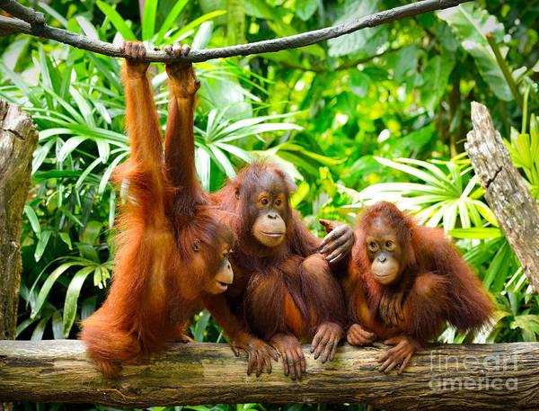 Monkey Wall Art - Photograph - Close Up Of Orangutans, Selective Focus by Tristan Tan