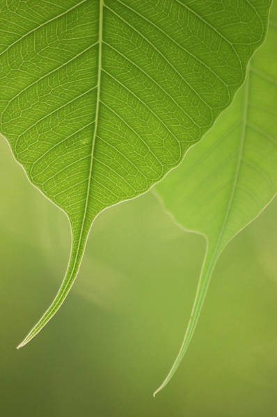 Photograph - Close Up Of Peepal Leaves by Rahul De