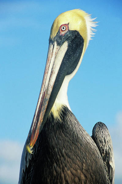 Pelican Wall Art - Photograph - Close Up Of Pelican by Gary John Norman