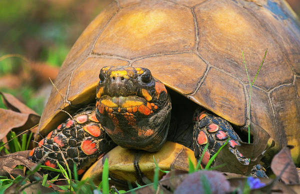 Wall Art - Photograph - Close Up Of Red Face Box Turtle, Porto by Panoramic Images