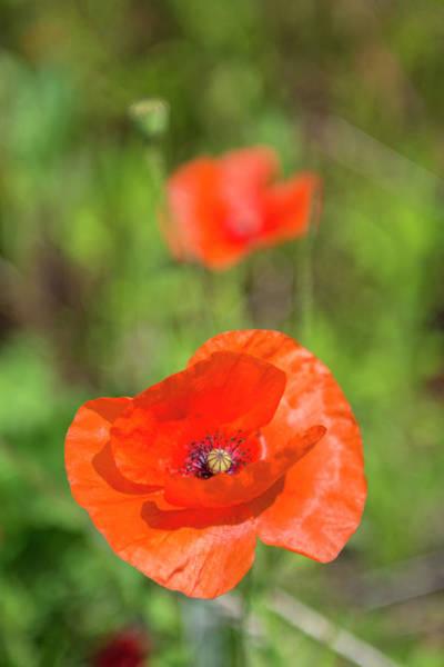 Wall Art - Photograph - Close-up Of Red Poppy by Jim Engelbrecht