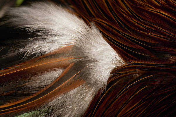 Rooster Photograph - Close Up Of Roosters Down Feather by Nacivet