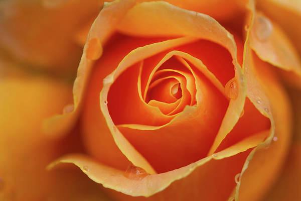 Photograph - Close Up Of Rose by Junichi Ishito
