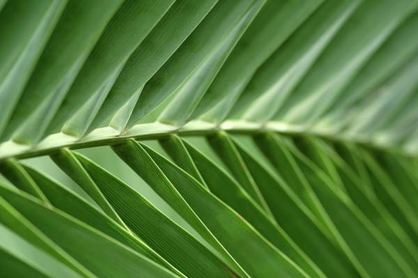 Parallels Wall Art - Photograph - Close-up Of Sago Palm Leaves by Neil Overy