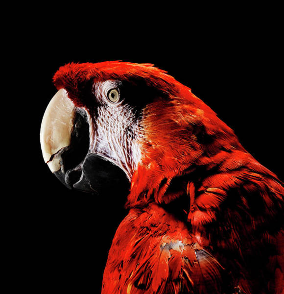 Macaw Photograph - Close Up Of Scarlet Macaw by Henrik Sorensen