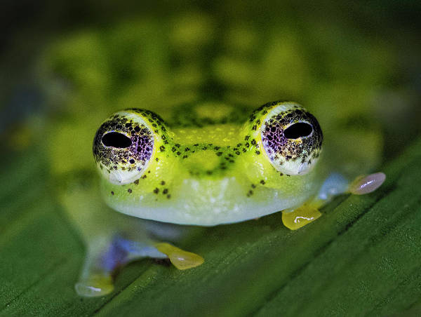 Wall Art - Photograph - Close-up Of Single Glass Frog by Panoramic Images