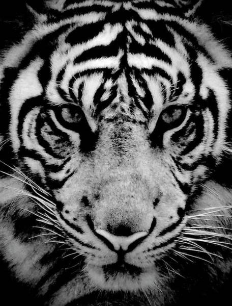 Jakarta Photograph - Close Up Of Sumatran Tiger by Aris And Ressy