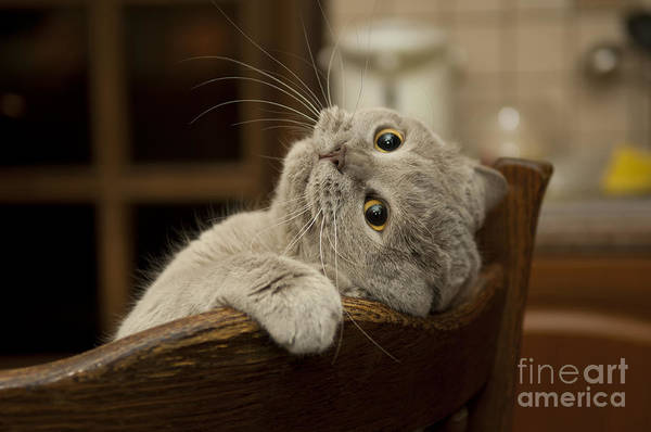 Fluffy Wall Art - Photograph - Close-up Of The Cat Is Played. Naughty by Sergei Kaliganov