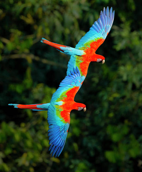 Wall Art - Photograph - Close Up Of Two Flying Red-and-green by Panoramic Images