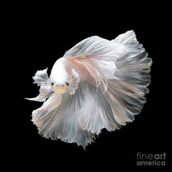 Close Up Of White Platinum Betta Fish Art Print by Nuamfolio