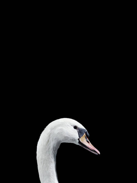 Animal Head Photograph - Close Up Of White Swans Head by Walker And Walker