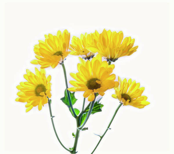 Wall Art - Photograph - Close-up Of Yellow Mums Flowers by Panoramic Images