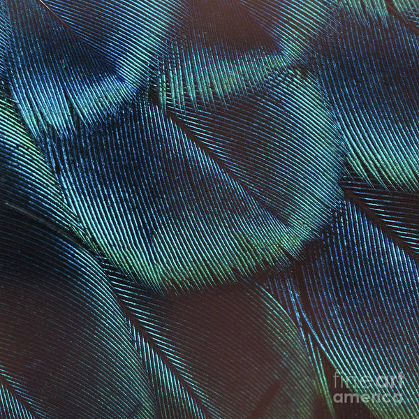 Feathers Photograph - Close-up Peacock Feathers by Independent Birds