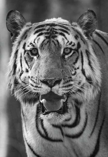 Wall Art - Photograph - Close-up Photo Of Bengal Tiger Panthera by Panoramic Images