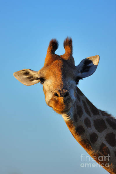 Wall Art - Photograph - Close-up Portrait Of A Giraffe  Giraffa by Johan Swanepoel