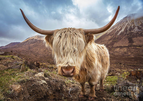 Wall Art - Photograph - Close Up Portrait Of A Highland Cattle by Zgphotography