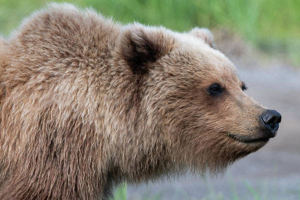 Photograph - Close Up Portrait Of Alaskan Brown Bear by Mark Hunter
