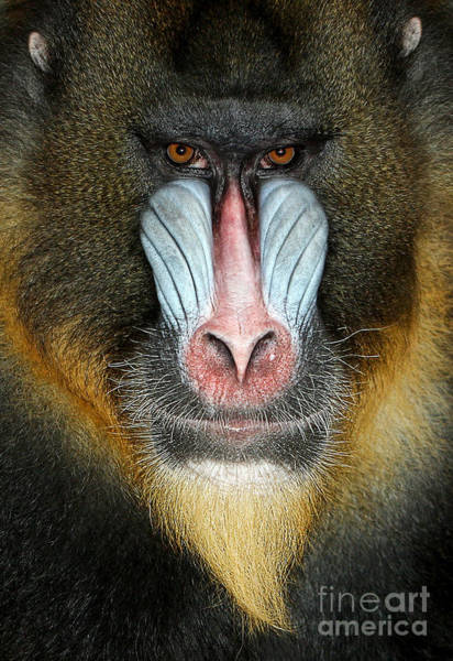 Head Wall Art - Photograph - Close Up Portrait Of Baboon Monkey by Reinhold Leitner