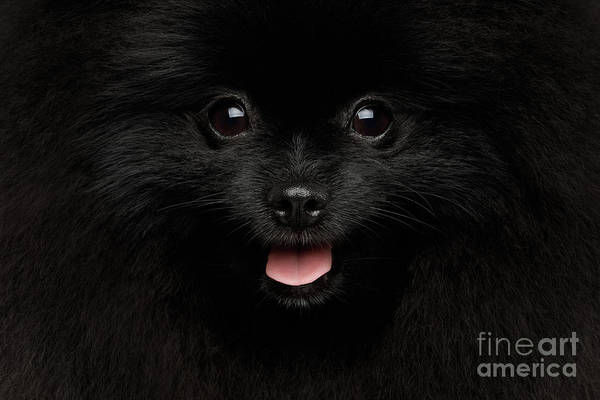 Wall Art - Photograph - Close-up Portrait Of Happy Pomeranian Spitz Dog by Sergey Taran