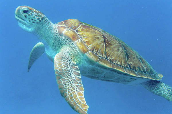 Close Up Sea Turtle Art Print