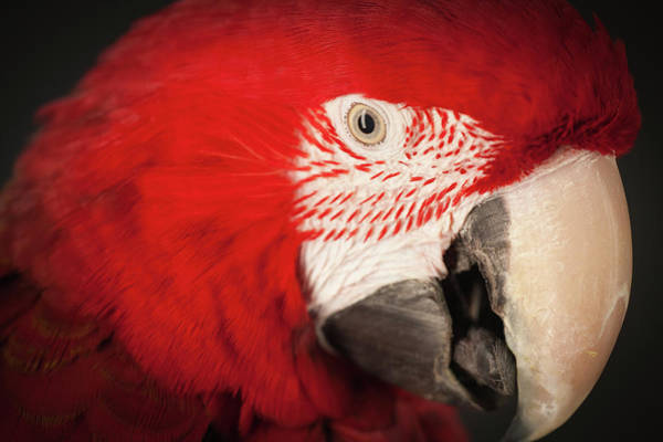 Macaw Photograph - Close Up Studio Shot Of A Scarlet Macaw by Tim Platt