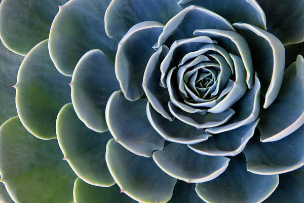 Wall Art - Photograph - Close-up Succulent Rosette Pedals by Darrell Gulin