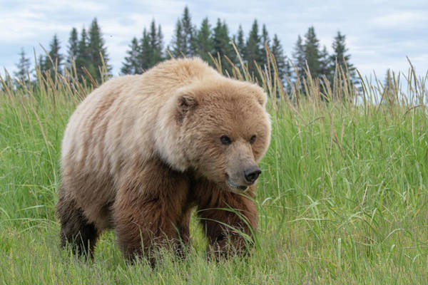 Photograph - Close Up View Of A Female Alaska Brown Bear by Mark Hunter