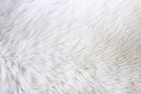 Cowhide Wall Art - Photograph - Close Up View Of White Fur Detail by Hypertizer